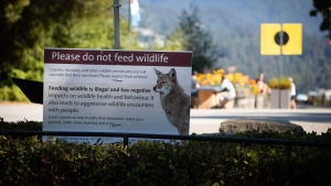 A sign warning people not to feed wildlife is seen at Stanley Park after numerous people have been attacked by coyotes, in Vancouver, on Thursday, Sept. 2, 2021. (Darryl Dyck / THE CANADIAN PRESS)