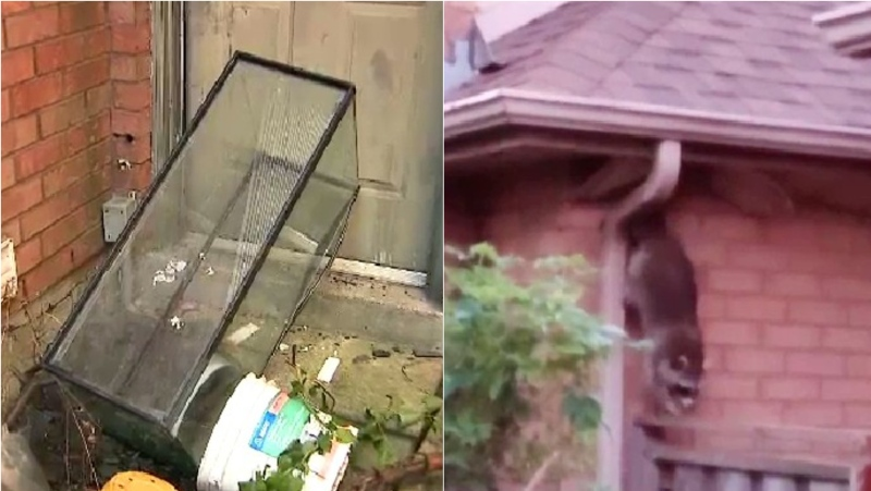 The Brampton, Ont. house is now overgrown with weeds, has a racoon problem and is infected with earwigs. (Supplied)