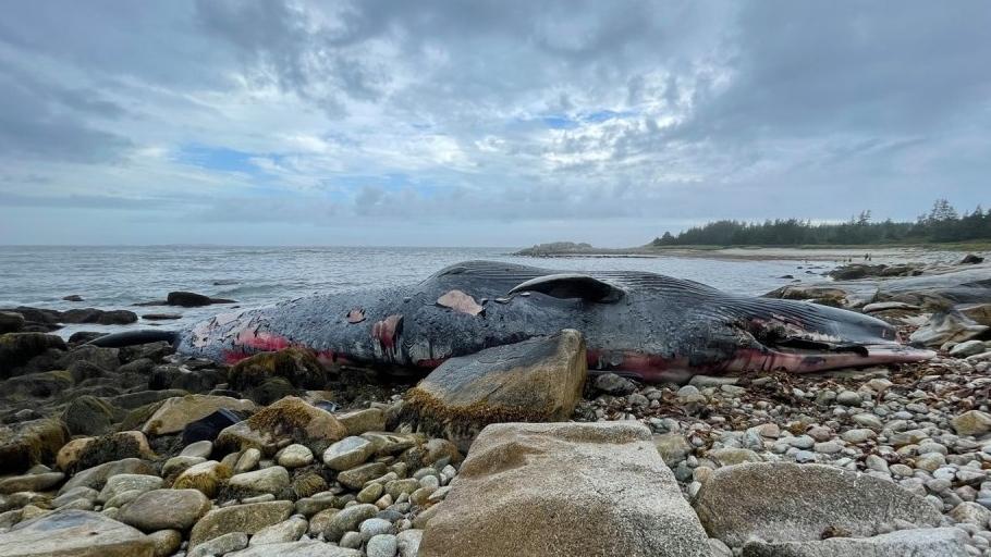 Endangered blue whale