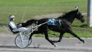 Untouchable One is a brown pacing horse that was born on Cheryl Geldart's farm in Norton, N.B. back in 2010 and quickly established himself as a force to be reckoned with on the racetrack, racking up more than $264,000 in winnings.