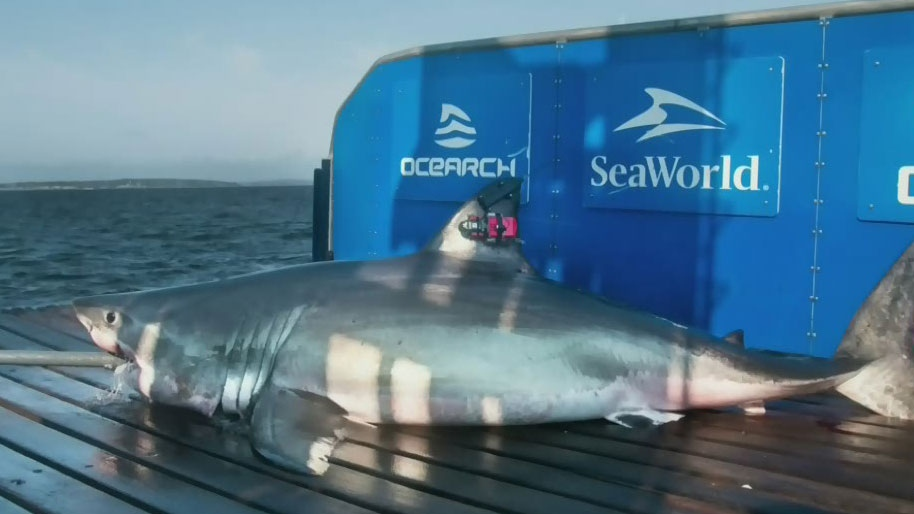 Research team tags second great white in N.S.