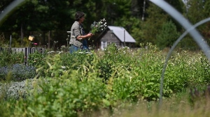 Danielle Schami gathers a bouquet from a field at her cut flower farm, Franktown House Flowers in Wakefield, Quebec. (Joel Haslam / CTV Ottawa)