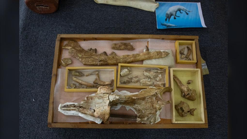 Phiomicetus Anubis fossils