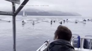 The dolphins were filmed on Sept. 11, 2021, near Campbell River, B.C.: (Discovery West Adventures)