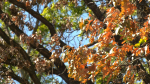 The colours of fall have arrived early in Manitoba, and the summer's drought may be to blame. A tree is pictured in Winnipeg on Sept. 14, 2021. (Source: Glenn Pismenny/ CTV News Winnipeg)
