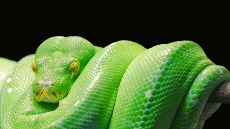 Green tree python (Pexexls/Pixabay)