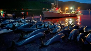 The carcasses of white-sided dolphins lie on a beach after being pulled from the blood-stained water on the island of Eysturoy on Sunday, September 12, 2021. (Sea Shepherd/AP)