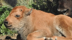 Wanuskewin Heritage Park welcomed a baby bison Sunday Sept. 12, 2021. (Facebook/Wanuskewin Heritage Park)