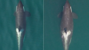 3 endangered orcas believed to be pregnant