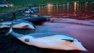 The carcasses of dead white-sided dolphins lay on a beach on the island of Eysturoy, Faeroe Islands, on Sept. 12, 2021. (Sea Shepherd via AP)