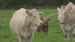 Beef cows at Potter Charolais, a farm in Earlton, Ont. Sept.10/21 (Jaime McKee/CTV Northern Ontario)