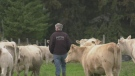 Potter Charolais is a beef farm in Earlton, Ont. Sept. 10/21 (Jaime McKee/CTV Northern Ontario)