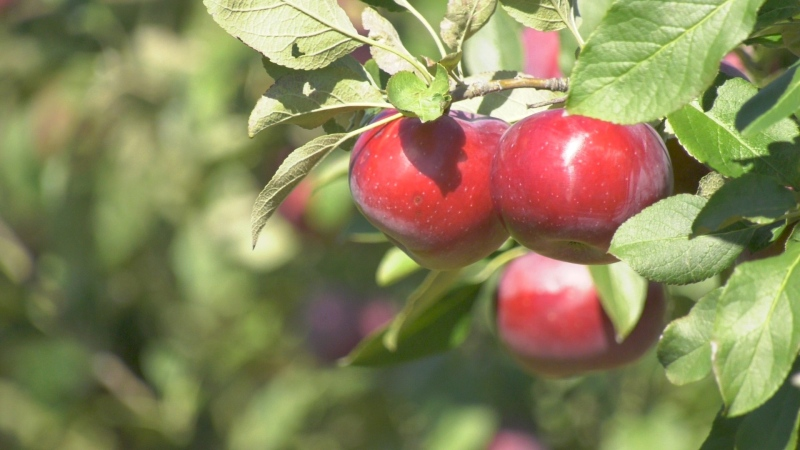 Mountain Orchards in Mountain, Ont, near Kemptville. (Dave Charbonneau/CTV News Ottawa)