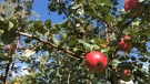 Apple picking season is underway at Mountain Orchards in Mountain, Ont. (Dave Charbonneau/CTV News Ottawa)