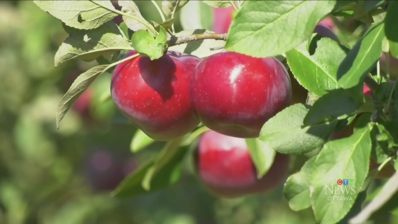 Perfect season for growing apples