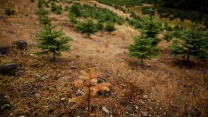 A drought struck tree is seen growing on a parcel of land on the Sahtlam Tree Farm is seen, in the Cowichan Valley area of Duncan, B.C., on Saturday, July 31, 2021. (THE CANADIAN PRESS/Chad Hipolito)