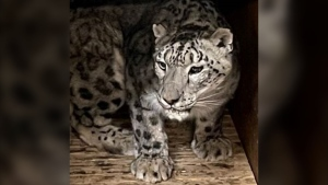 Kazi the snow leopard (Submitted photo).