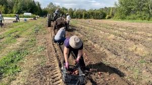 Volunteers harvest potatoes at the Ottawa Food Bank farm on Friday Sept. 17, 2021. (Katie Griffin/CTV News Ottawa)