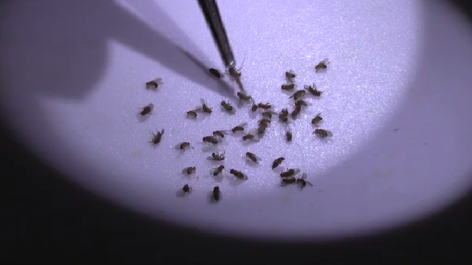 An undated image of fruit flies being examined under lab equipment.