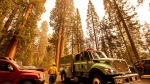 A fire engine drives past sequoia trees in Lost Grove as the KNP Complex Fire burns about 15 miles away on Friday, Sept. 17, 2021, in Sequoia National Park, Calif. (AP Photo/Noah Berger)