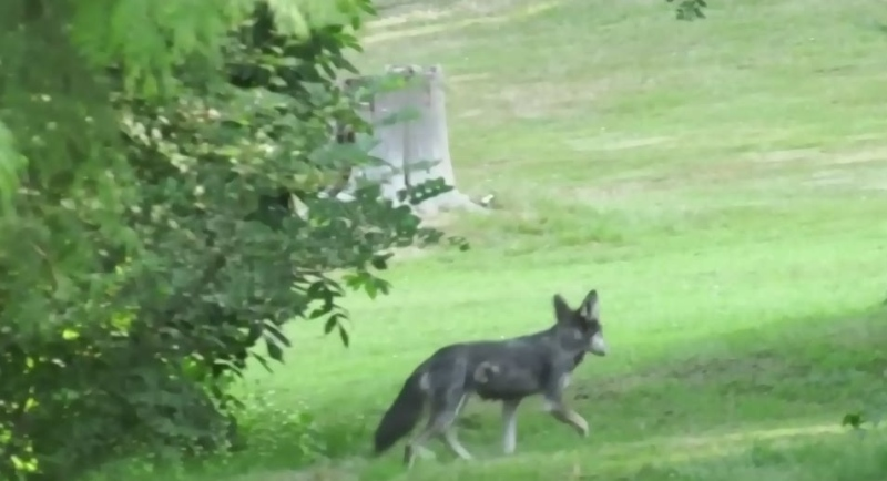 Questions swirl around Stanley Park coyote cull