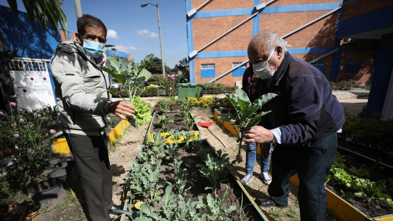 Dialysis patients Luis Sanchez, 78, right, and Leonel Cifuentes, left, harvest lettuce and chard during an agro-therapy session at El Tunal hospital in Bogota, Colombia, Dec. 14, 2020. (AP Photo/Fernando Vergara)