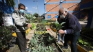 FILE - Dialysis patients Luis Sanchez, 78, right, and Leonel Cifuentes, left, harvest lettuce and chard during an agro-therapy session at El Tunal hospital in Bogota, Colombia, Dec. 14, 2020. (AP Photo/Fernando Vergara)