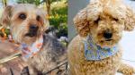 Dogs wearing bandanas from Fuzzer + Co. on September 18, 2021 (Source: Hannah Shmukler)