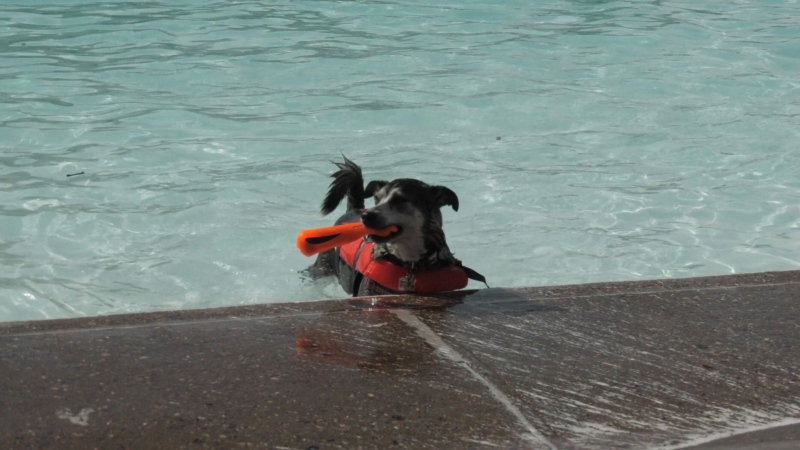 Lizzie, a husky-corgi cross, swam in a pool for the first time. She loves to swim, but typically at the cottage. (Kaylyn Whibbs/CTV News)