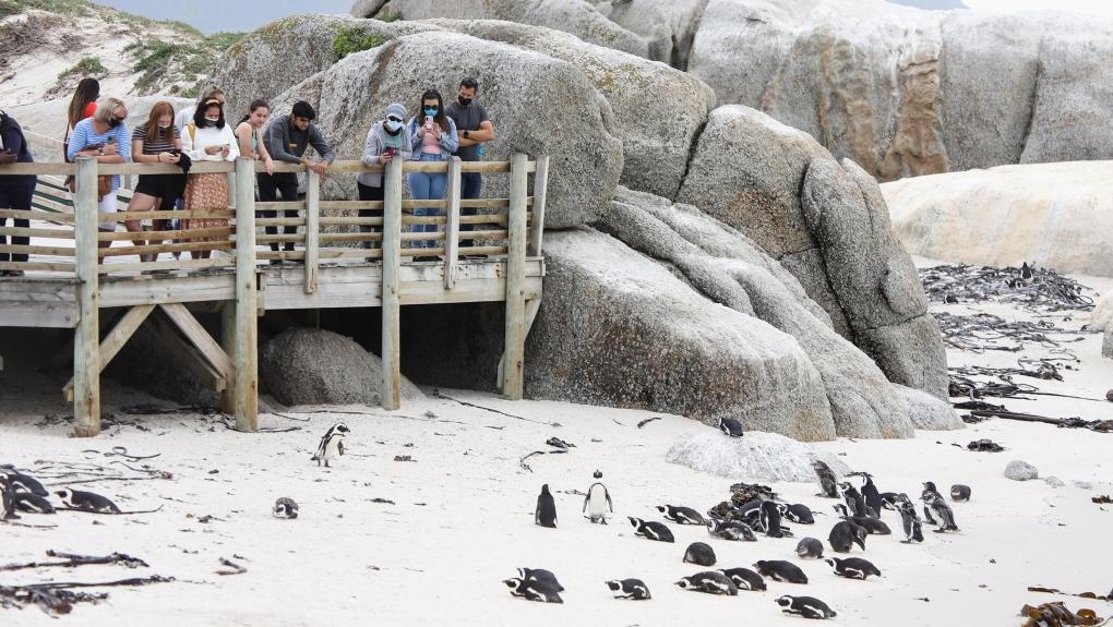 South African penguins CNN