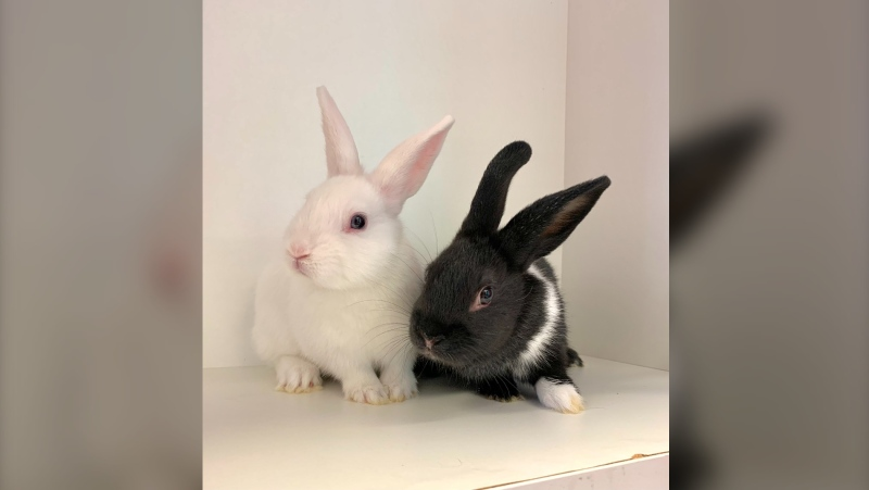 Two rabbits are pictured in this photo (Supplied by OSPCA)