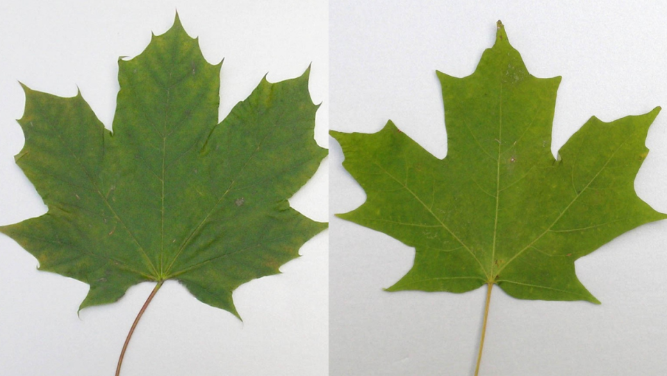Learn the difference: Norway and Sugar Maple
