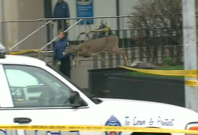 The deer makes a run for it near the Toronto Coach Terminal at Bay and Dundas, Tuesday, Nov. 24, 2009. Toronto police tasered the deer shortly after.