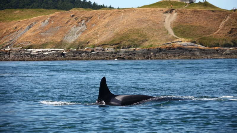 Southern resident killer whale, L47, is shown: (Center for Whale Research / Facebook)