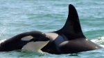 Missing orca whale likely dead: researchers