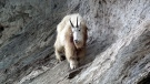 A mountain goat in Yoho National Park appears in an undated photograph. (supplied/Parks Canada)