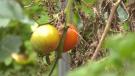 A community garden and orchard helps feed families in Barrie, Ont. (Steve Mansbridge/CTV News)
