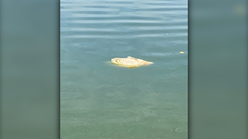 A fish is seen floating in Stanley Park's Lost Lagoon in an image submitted by Dax Shelton.