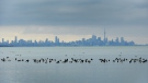 Birds swim in the waters of Lake Ontario overlooking the city of Toronto skyline in Mississauga, Ont., Thursday, Jan. 24, 2019. THE CANADIAN PRESS/Nathan Denette