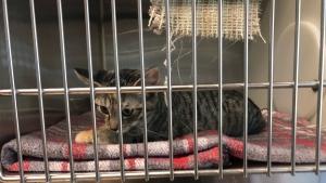 A cats waits to be adopted at the Regina Humane Society (Alison MacKinnon/CTV News)