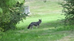 Two arrested for allegedly feeding coyotes