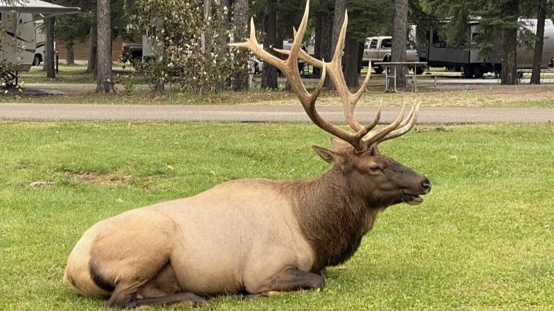 Elk looking for love