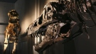 The lower jaw of SUE the T. rex is pitted with holes that experts believe were the result of a parasitic infection. (Source: Koichi Kamoshida / Getty Images via CNN)