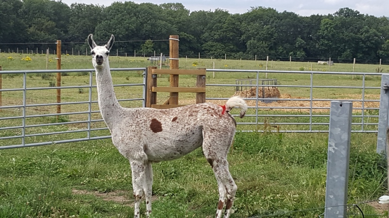 Fifi the llama is shown in this image. (Jo Kelly / University of Reading)