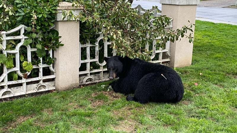 A bear named Rufus was killed in Lynn Valley by conservation officers after it appeared to be food conditioned. (Danielle/North Shore Black Bear Society/Facebook)