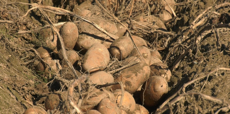 Potatoes grown at Don Poulin Potatoes farm in the Greater Sudbury community of Azilda. Sept. 13/21 (Lyndsay Aelick/CTV Northern Ontario)