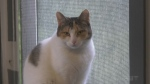 Cat available for adoption at Sudbury's Pet Save. Sept. 23/21 (Molly Frommer/CTV Northern Ontario)