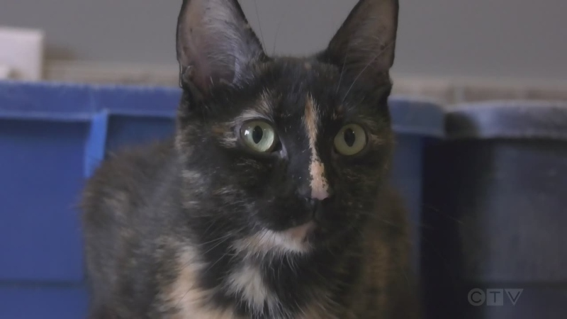 One of the more than 200 cats and kittens available for adoption at Sudbury's Pet Save. Sept. 23/21 (Molly Frommer/CTV Northern Ontario)