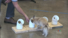 With help from a lab, dog trainer Bill Grimmer is able to use samples of cortisol to assist in their training. He puts the cortisol on a popsicle stick or a cotton ball, then hides it in rounded tubes. The dogs are then told to find the hidden sample and are rewarded after.