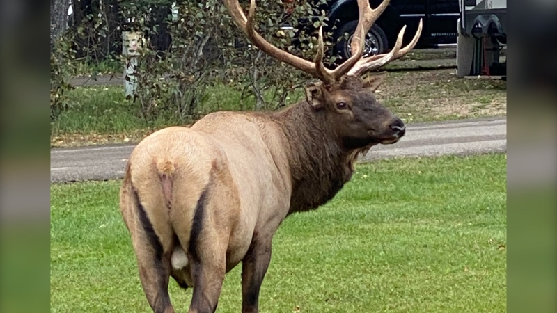 A photo taken by Angie Carriere shows a bull elk in Prince Albert National Park. (Courtesy Angie Carriere)